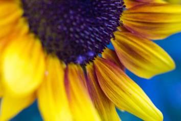 Sonnenblume zur blauen Stunde.