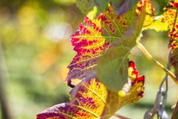 Weinblätter im Herbst.